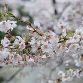 雨に濡れる桜