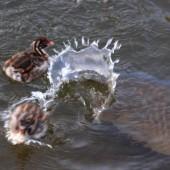 カイツブリと鯉の戦い