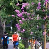 サルスベリと 柳の ジョキングコース