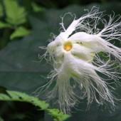 今年も咲きました、カラス瓜の花