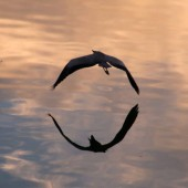 白鷺水面飛びて 輪を型る