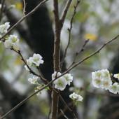 咲き始めたコブクザクラ2