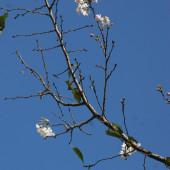 咲き始めたジュウガツザクラ