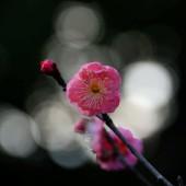 紅梅 咲き初めました