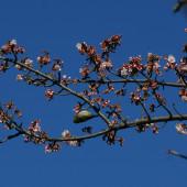 カンザクラが咲き始めました