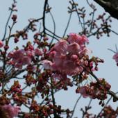 ヨウコウが咲き始めました