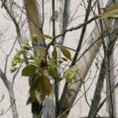 ギョイコウが咲いています