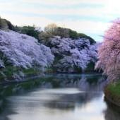 今年の 最後の桜