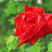 江戸徳川ゆかりの 薔薇 {篤姫}が皇居の傍で 大輪