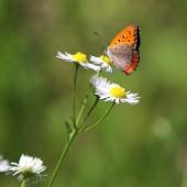 道ばたの雑草の花と 初夏の蝶