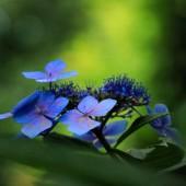 梅雨の花 ガクアジサイ