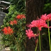 もう秋? 彼岸花が咲き始めました 早いですね!