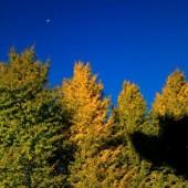 黄葉のイチョウ と 残月