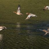 都心のお濠で 越冬する 鴨たち 飛びます~~~
