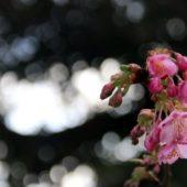 ヒカン桜 5分咲き これから見頃です