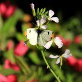 季節は 初夏? 蝶も現れ 春爛漫