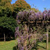 かわる季節 今年は早いね! 藤の花 見頃です