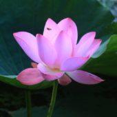 牛ヶ淵の 蓮の花 今が見頃