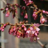 さくら通りのオカメ(桜)