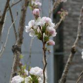 アマノガワが咲き始めました