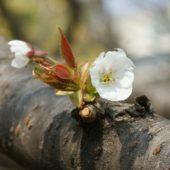 スルガダイニオイが咲き始めました