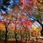 紅葉(北の丸公園のモミジ林)