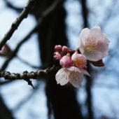 オオカンザクラが咲き始めました