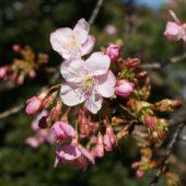 カワヅザクラが咲き始めています