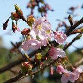 シュゼンジカンザクラが咲き始めました