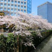 桜(飯田橋・アイガーデンエア)